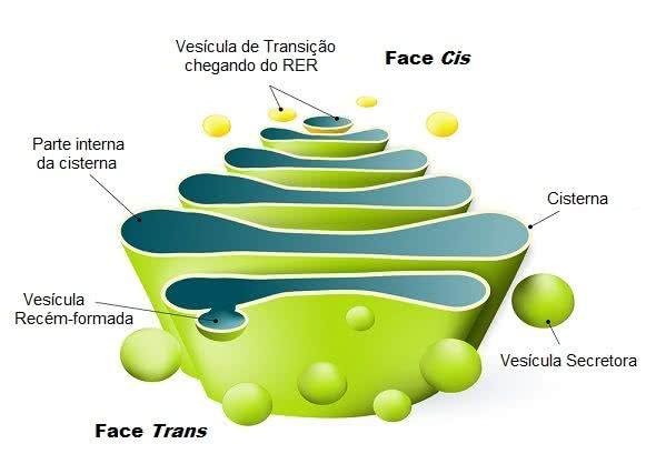 Estrutura do complexo de Golgi