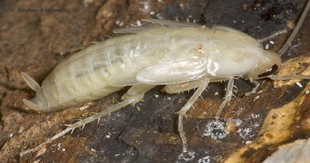 Barata branca ou albina