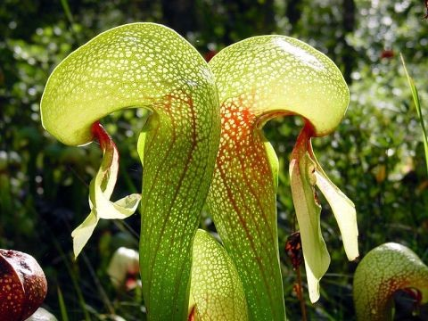 DARLINGTONIA OU PLANTA COBRA